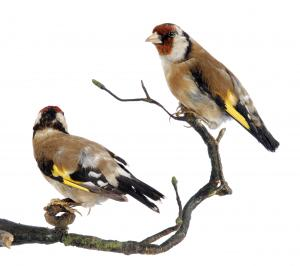 Goldfinches at Leeds Museums and Galleries