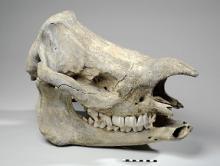 Javan Rhino skull (c)Leeds Museums and Galleries